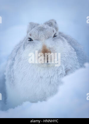Scottish Mountain Hare (Lepus timidus) sitting among snow in Cairngorms National Park, Highlands, Scotland, Great - Stock Photo