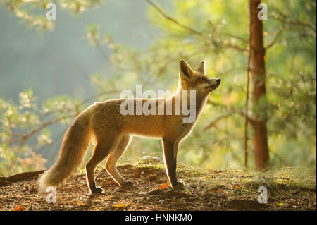 Red fox from side view in beauty backlight in autumn forest with tree in background - Stock Photo