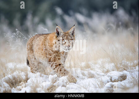 Eurasian lynx cub walking on snow with high yellow grass on background. Cold winter season. Freezy weather. - Stock Photo