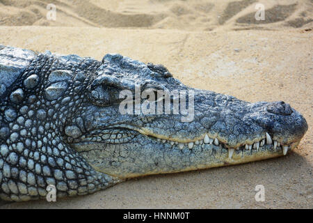 In a zoo in Cologne within the various animals was this crocodile - Stock Photo