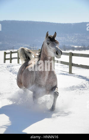 An Arabian Roan mare, a horse corralled in a farm field of fresh powder snow with a winter background of barren - Stock Photo