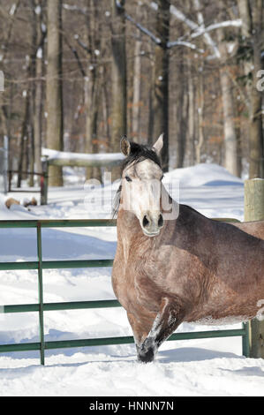 Corralled horse standing at gate in powder snow with woods background, roan Arabian mare, Pennsylvania, PA, USA. - Stock Photo