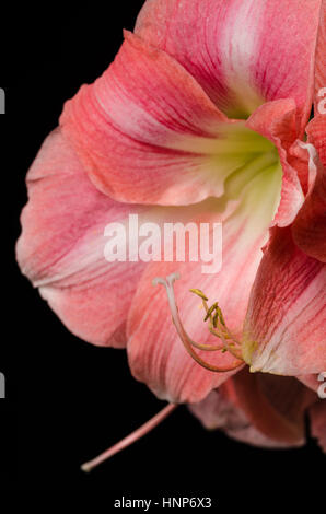 A close up macro photo of a beautiful pink amaryllis with stamen on black background - Stock Photo