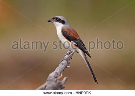 Bay-backed Shrike Lanius vittatus Birds of Thailand - Stock Photo
