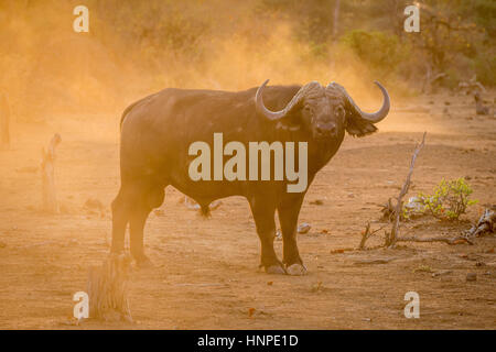African buffalo (Syncerus caffer), Kruger National Park, Republic of South Africa - Stock Photo