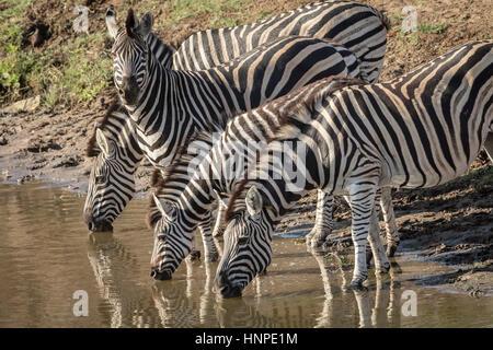 Plains Zebra (Equus quagga), Kruger National Park, Republic of South Africa - Stock Photo