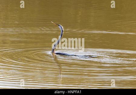 An Oriental Darter or Indian Darter, sometimes called the Snakebird, ( Anhinga melanogaster ), in water, Tadoba - Stock Photo