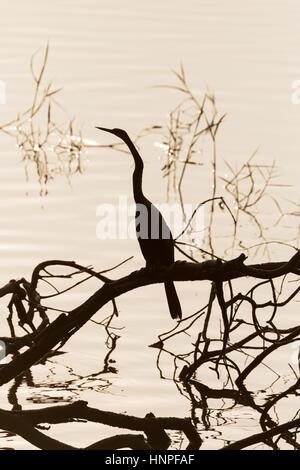 Oriental Darter,  Indian Darter, or Snakebird, ( Anhinga melanogaster ), silhouetted against the water, Tadoba Lake, - Stock Photo