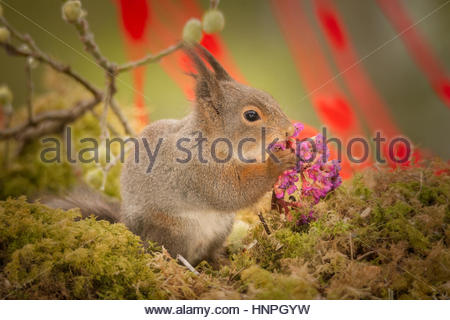red squirrel standing on moss eating a lila flower - Stock Photo