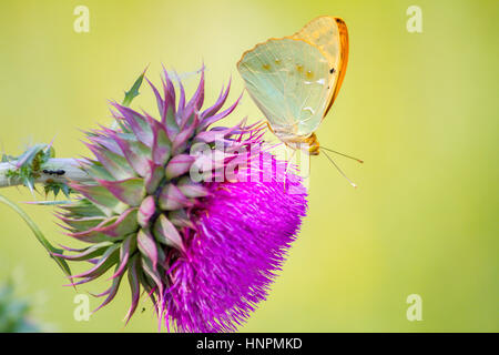 Argynnis pandora butterfly sitting on a Cotton thistle flower - Stock Photo