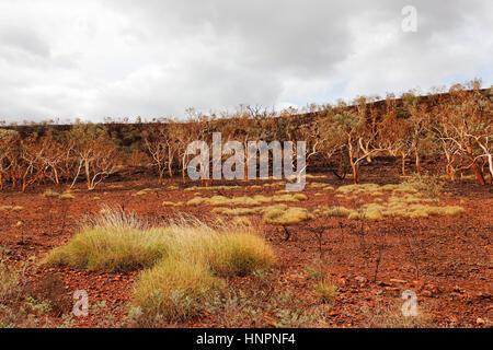 Burnt Eucalyptus trees in outback, Pilbara, Western Australia. - Stock Photo