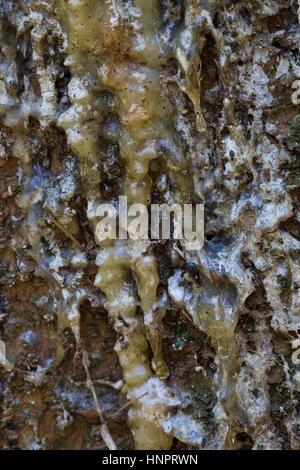 Fichtenharz, Fichten-Harz, Baumharz, Harz, Harztropfen, liquid pitch, tree gum, galipot, gallipot. Gewöhnliche Fichte, - Stock Photo