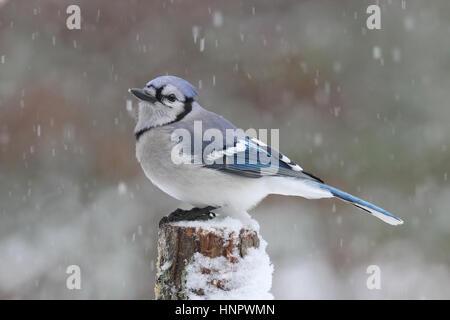 A Blue Jay (Cyanocitta cristata) perching in a winter blizzard. - Stock Photo
