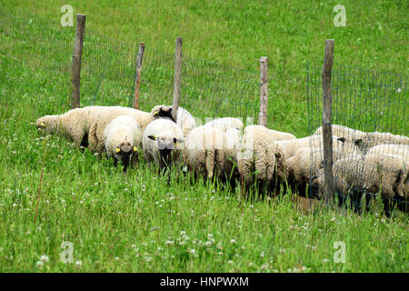 A flock of sheep in pasture. - Stock Photo