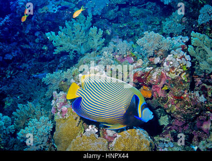 An emperor angelfish (Pomacanthus imperator) next to a coral reef.  Celebrated for the beauty of its highly distinctive - Stock Photo