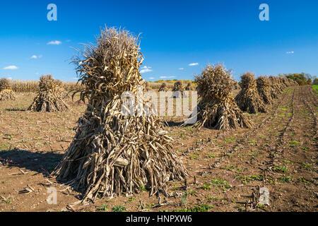 Corn shocks in a field in Coshocton County, Ohio, USA. - Stock Photo