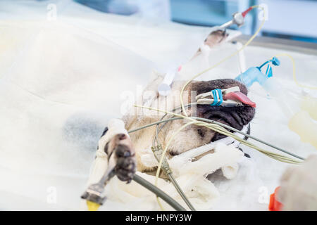 Close-up of anesthetized dog's head during surgery - Stock Photo