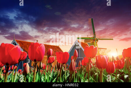 magical landscape of tulips and windmills in the Netherlands - Stock Photo