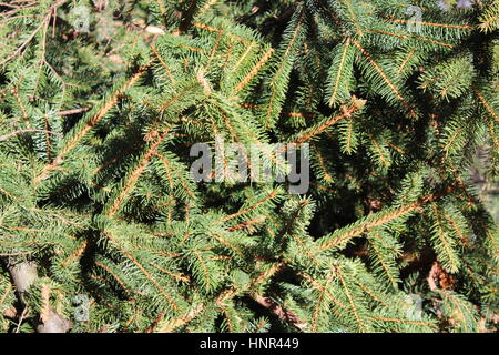 Felled conifer - Stock Photo