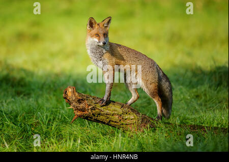Red fox standing on tree trunk in green grass on nice autumn sunlight - Stock Photo