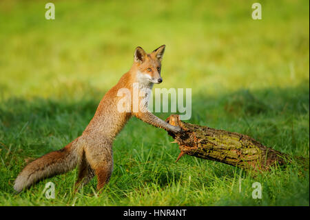 Red fox standing in green grass leaning to tree trunk in beautiful autumn sunlight - Stock Photo