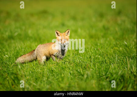 Red fox standing in green grass from front view - Stock Photo