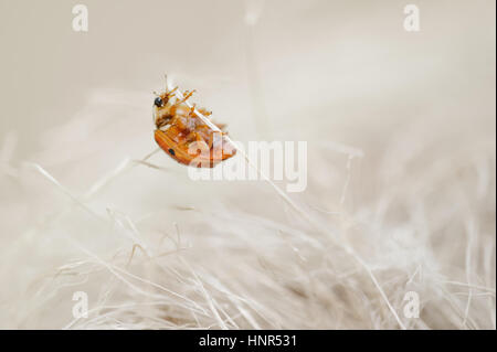 Ladybug looking like a monster from horror. Scary bug climbing on beige stalks. - Stock Photo
