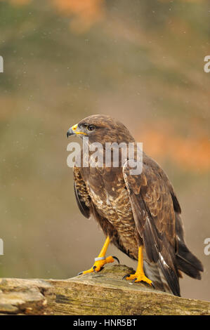 Common Buzzard standing on branch isolated from background - Stock Photo