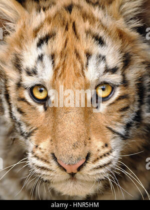 Closeup baby tiger head - Stock Photo
