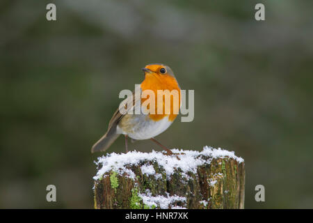 European robin (Erithacus rubecula) perched on old wooden fence in the snow in winter - Stock Photo