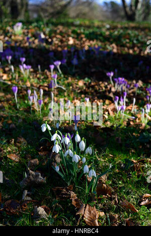 Galanthus nivalis, eranthis hyemalis, crocus, snowdrops,  snowdrop, spring, yellow, white, purple, flower, flowers, - Stock Photo