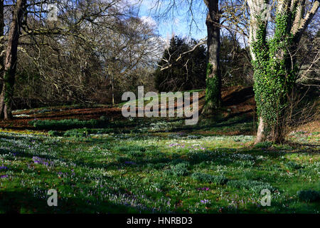 Galanthus nivalis, eranthis cilicia, crocus, snowdrops,  snowdrop, spring, yellow, white, purple, flower, flowers, - Stock Photo