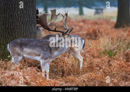 Fallow deer bucks grazing on wintry fern in woodland - Stock Photo