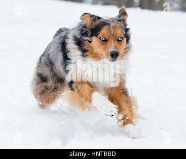 Stunning tri-color blue eyed Australian Shepard Shepherd Aussie dog running, frolicking, playing, leaping mid air - Stock Photo