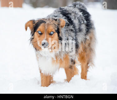 Stunning tri-color blue eyed Australian Shepard Shepherd Aussie dog  in the snow looking at camera - Stock Photo