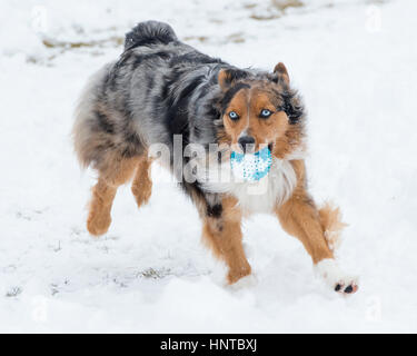 Stunning tri-color blue eyed Australian Shepard Shepherd Aussie dog leaping mid-air jumping running in the snow - Stock Photo
