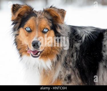 Stunning tri-color blue eyed  blue eyes Australian Shepard Shepherd Aussie dog close up portrait headshot - Stock Photo