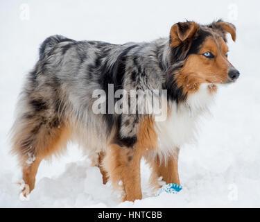 Stunning tri-color blue eyed Australian Shepard Shepherd Aussie dog standing the snow - Stock Photo