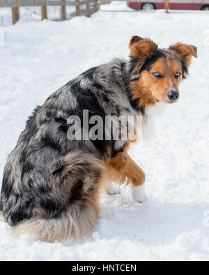 Stunning tri-color blue eyed Australian Shepard Shepherd Aussie dog from behind looking at camera paw up - Stock Photo