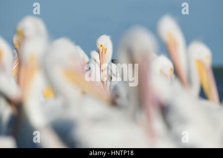 An American White Pelican stands out in a flock of other pelicans on a dock in the bright sun. - Stock Photo