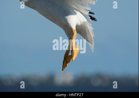 Close up of American White Pelican feet while the bird flies in front of a smooth blue sky background on a sunny - Stock Photo