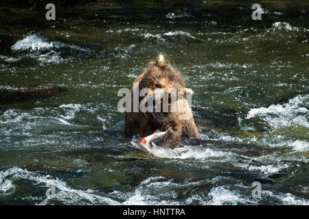 After catching a fish underwater, this large brown bear shakes the water off her fur before finishing her meal. - Stock Photo
