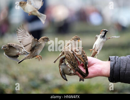A flock of Sparrows feeding from a man's hand at Sacre Coeur, Paris. - Stock Photo