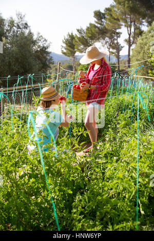 Two young female gardeners picking tomatoes on organic farm - Stock Photo
