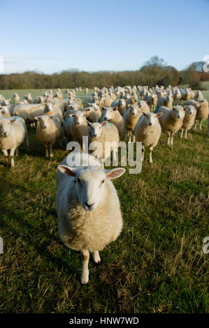 Portrait of curious flock of sheep standing in field landscape - Stock Photo