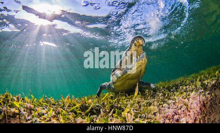 Saltwater Crocodile, underwater view, Chinchorro Banks, Mexico - Stock Photo