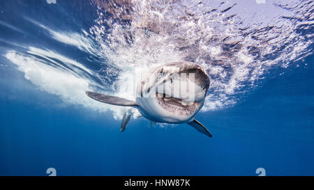 Great white shark, underwater view, Guadalupe Island, Mexico - Stock Photo