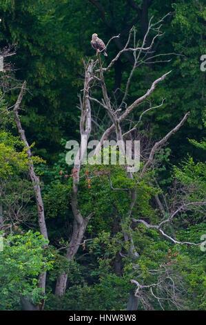 White-tailed eagle (Haliaeetus albicilla) are also known as eagle of the rain, sea grey eagle - Stock Photo