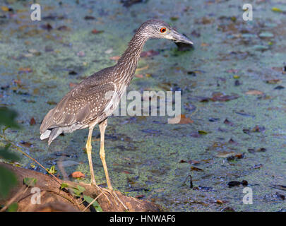 Juvenile Yellow-crowned Night-Heron t - Stock Photo