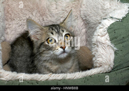 Black tan and cream colored tabby kitten looking surprised laying in a sheep skin bed big yellow green brown eyes - Stock Photo